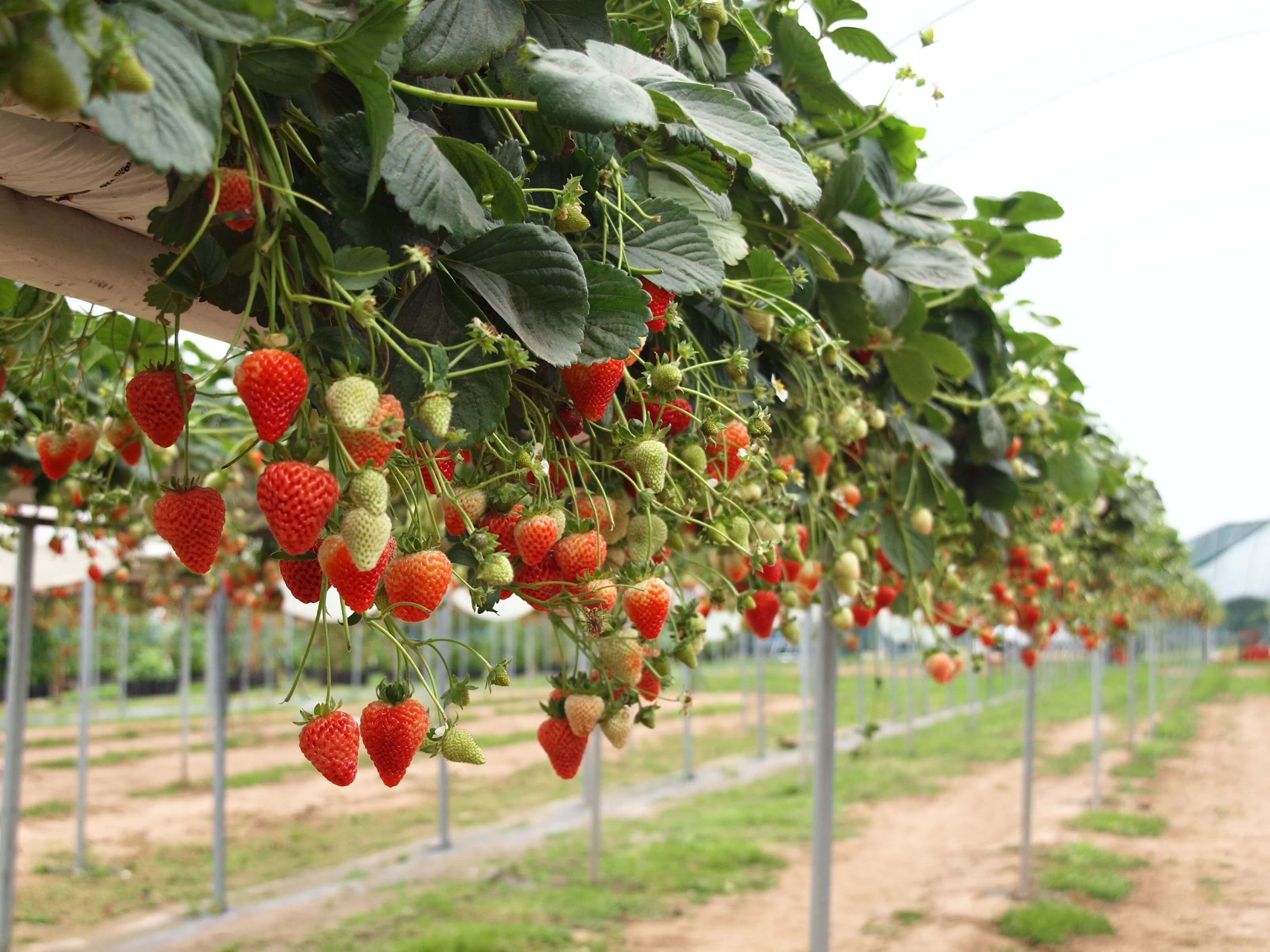 Công ty xuất khẩu lao động Thành Đô tuyển 2 nữ  đơn hàng nông nghiệp đi Nhật